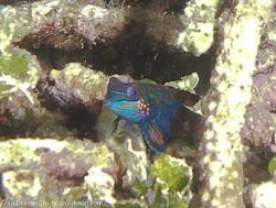 BD-080330-Lembeh-3302367-Synchiropus-splendidus-(Herre.-1927)-[Mandarinfish].jpg